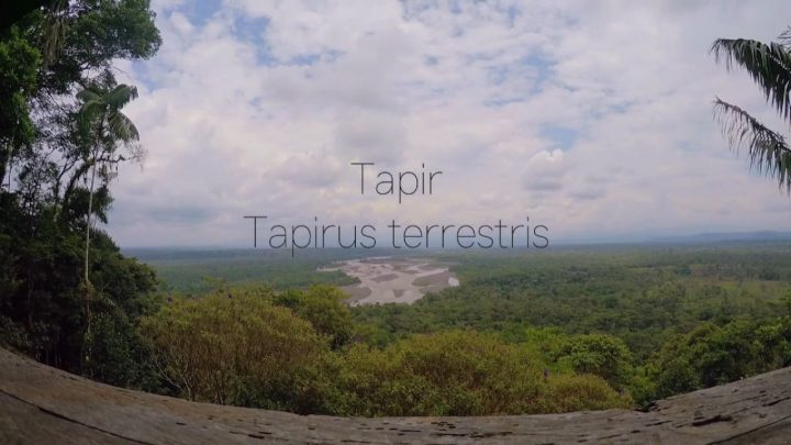 Tapirus terrestris directed by Lydia Marie Hicks