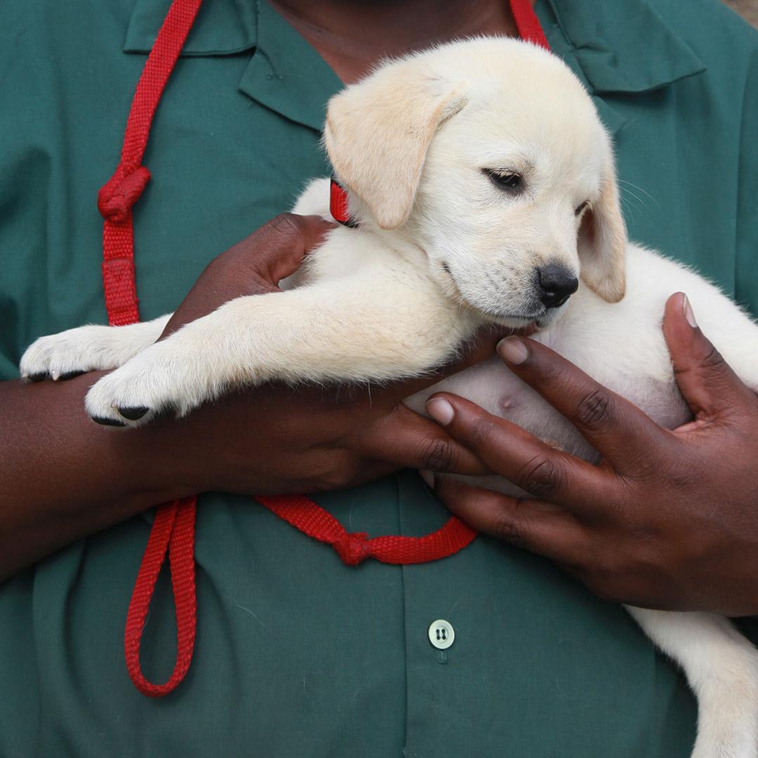 Hands cradle puppy